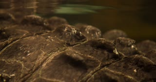 Prehistoric looking skin of Alligator under water 4k