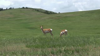 Pronghorn Antelope in field on Sunny day