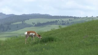 Pronghorn Antelope searching for food in field