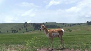 Pronghorn Antelope walking by in field