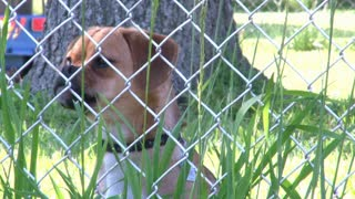 Puggle Barking behind Fence