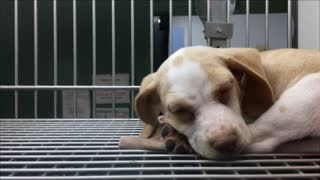 Puppy trying to fall asleep in cage at pet shelter 4k