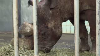 Rhino eating straw behind bars at zoo