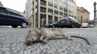 Rodent on city street wide angle
