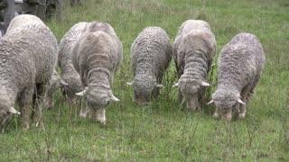 Row of Sheep eating grass