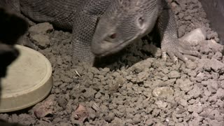 Savannah Monitor Looking for Food with Tongue