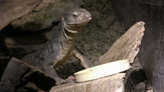 Savannah Monitor Standing Tall