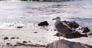 Seagull patrolling the beach while sitting on rock 4k