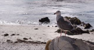 Seagull sitting on rock cleaning out feathers 4k