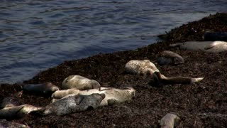 Seals Sleeping on Shore