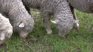 Sheep close up on mouth eating
