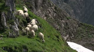 Sheep eating grass on side of mountain