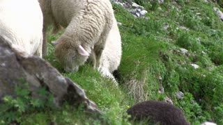 Sheep on mountain side eating