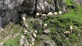 Sheep searching for food in mountain