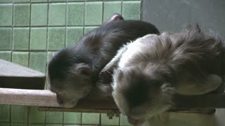 Shy monkeys on ledge