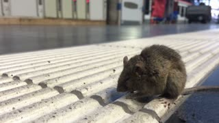 Sick mouse on ground at train station.