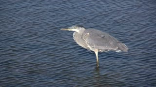 Side View of Great Blue Heron in water
