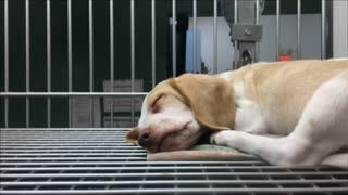 Sleeping dog at pound laying in cage 4k