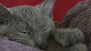 Sleeping kitten's face close up
