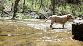 Small dog chasing stick in creek