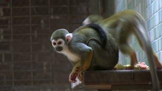Small monkey eating on ledge