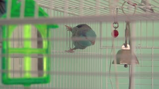 Small Paralette Bird in Cage