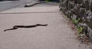 Snake crawling across sidewalk handheld 4k