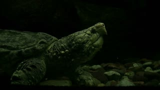 Snapping Turtle under water