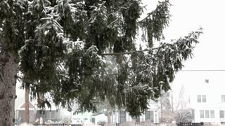 Snow falling onto pine tree