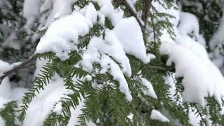 Snow on pine tree close up
