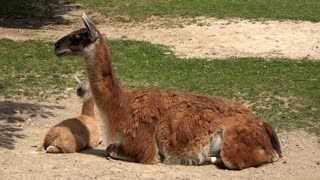South American Camel at the zoo 4k