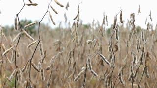 Soy Beans growing in field