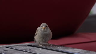 Sparrow sitting on table eating crumbs 4k