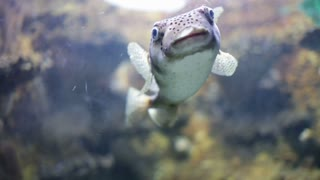 Spot-fin porcupinefish in water