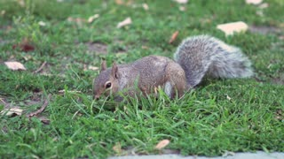 Squirrel eating grass in slow motion