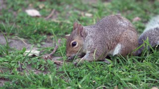 Squirrel eating looks up in slow motion