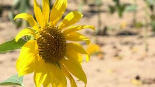 Sunflower on bright sun shining day 4k