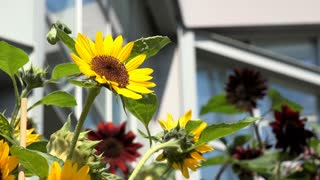 Sunflower plant in garden 4k