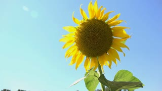 Sunflower with clear blue sky on sunny day 4k