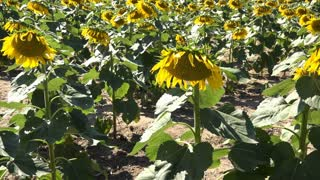 Sunflowers in field pan shot 4k