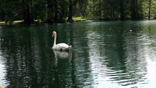 Swan in Water near side of Pond