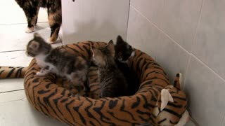 Three Baby Kittens in Bed