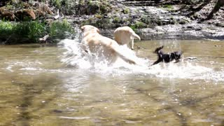 Three dogs in water playing with sticks