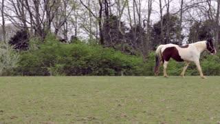 Tracking horse walking in field