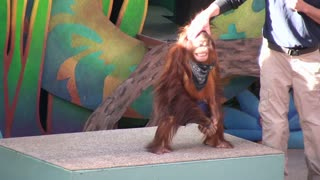 Trainer Playing with Orangutans Face