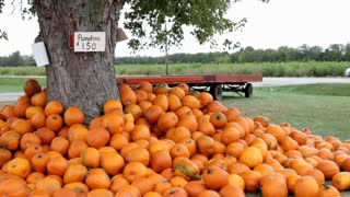 Tree surrounded by Pumpkins for sale