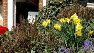 Tulips in Home Garden