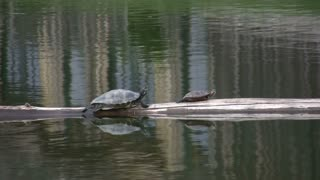 Turtles on Floating Log