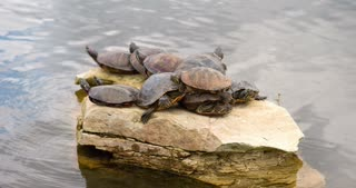 Turtles piled on rock in pond 4k.