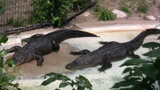 Two Alligators laying in the Sun